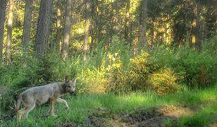 Nadleśnictwo Wałbrzych. Nie patrzcie na nie wilkiem. Powracają po latach do lasów
