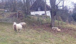 Karkonosze. Wilki zaatakowały. Rozszarpały owce po czeskiej stronie