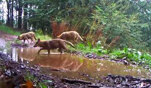 Wałbrzych. Dzikie wilcze harce. Leśna fotopułapka podgląda szczęśliwe zwierzęta