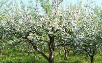 Sadzenie jabłoni