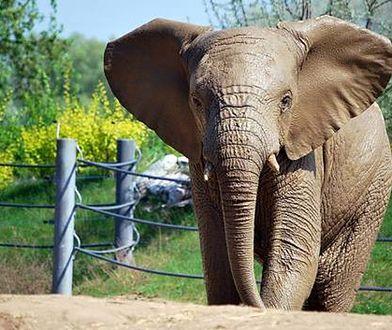 Poznaniacy pożegnają słonia. Władze zoo apelują, aby przynieść dla niego prezenty