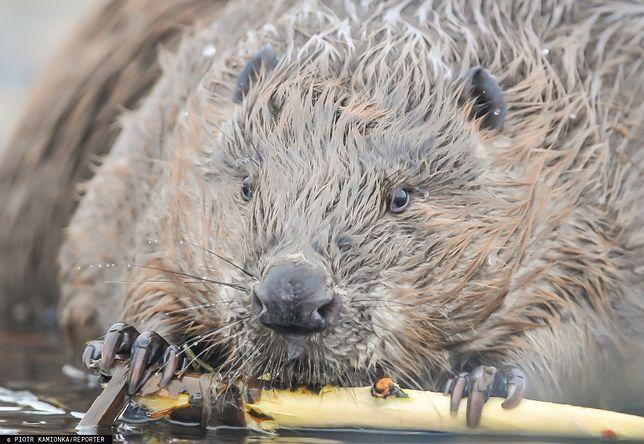 RDOŚ wydał wyrok na 1,5 tys. bobrów na Mazowszu.