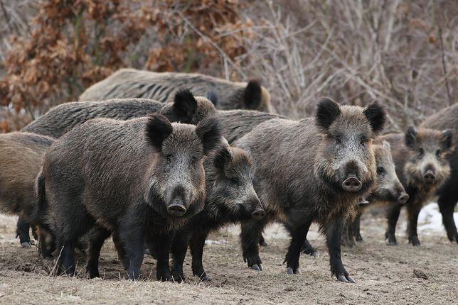 40 świń padło na skutek zarażenia ASF.
