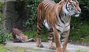 Poznań. Nie żyje tygrys Gideon