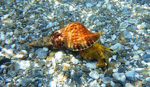 Maź ślimaka morskiego pomocna w walce z rakiem.