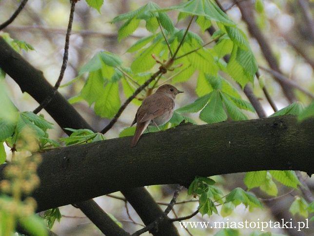 Za darmo: Ptasie Chóry w parku Skaryszewskim