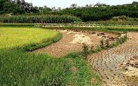 Sadzenie ryżu