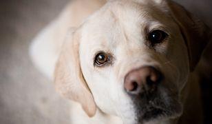 Szwecja: naukowcy zabili sześć labradorów w ramach eksperymentu. Przed śmiercią szczeniakom wyrwano część zębów. Nie pomogły protesty obrońców zwierząt