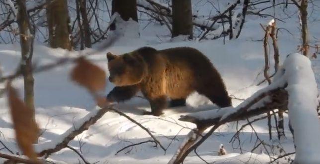 Niedźwiedzica Aga wciąż nie śpi. Leśnicy boją się o jej dzieci