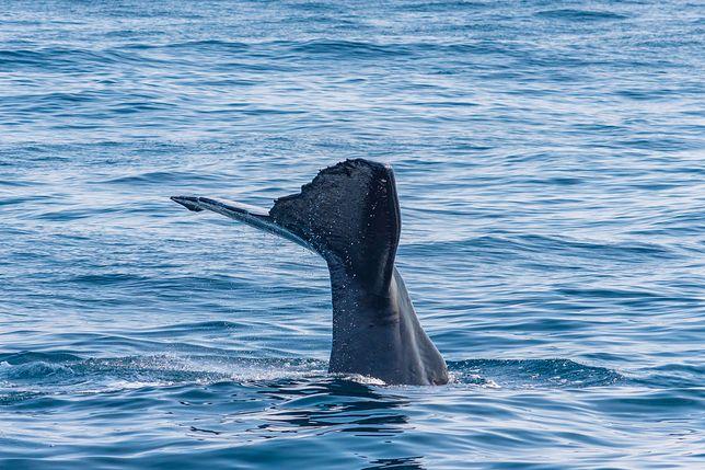 Wymiociny wieloryba są warte fortunę