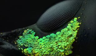 I miejsce - oko chrząszcza z gatunku Metapocyrtus subquadrulifer