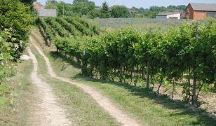 Zielone wzgórza, renesansowe miasteczka, równe rządki winorośli pnące się po nasłonecznionych zboczach – to nie Toskania, tylko okolice Małopolskiego Przełomu Wisły
