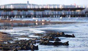Atak sinic w Bałtyku. Zobacz mapę kąpielisk, na których jest bezpiecznie