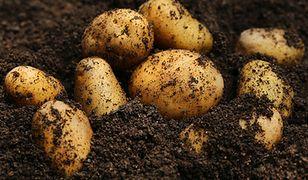 Ziemniaki będą drożeć w najbliższych miesiącach