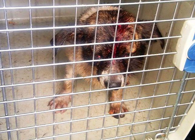 Jeden z maltretowanych psów miał świeżą ranę na głowę
