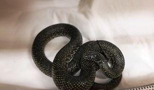 Wąż królewski znaleziony w Wesołej nie jest jadowity
