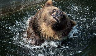 Niedźwiedź brunatny ze stołecznego ZOO