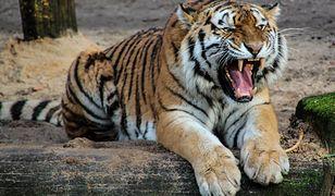 Pracownicy zoo nie mogli odnaleźć drapieżników, bo ich wybiegi zostały zalane po ulewie