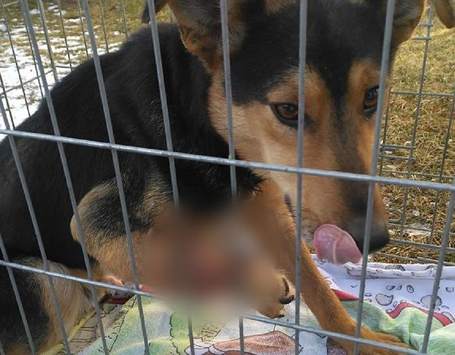 Pies ze zmasakrowaną łapą błąkał się po wsi przez miesiąc.