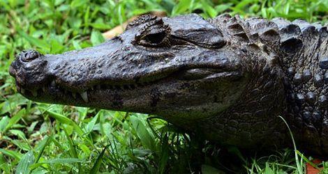 Aligator zaatakował tresera! Bestia była szybsza!