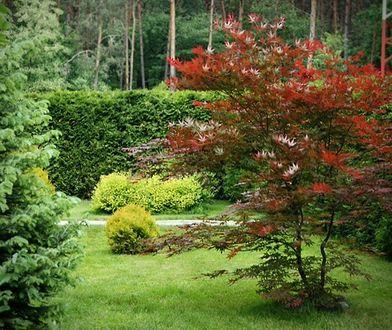 Trawnik należy regularnie kosić (co najmniej raz w tygodniu), pamiętając, by w miejscach zacienionych nie skracać go poniżej 5 cm wysokości.