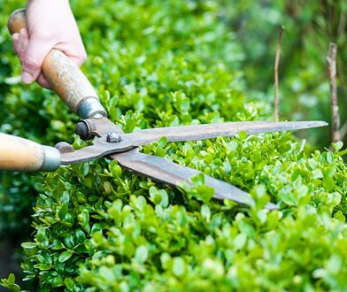 Pierwsze cięcie żywopłotu jest bardzo ważne – to od niego zależy późniejszy wygląd roślinności.