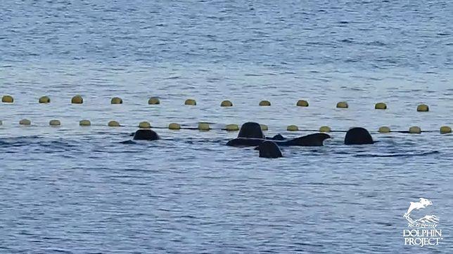 Matka delfinów pocieszała swoje młode pocierając się o nie