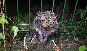 Jeż utknął pomiędzy prętami ogrodzenia. Na pomoc ruszyli strażnicy miejscy