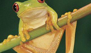 Antybiotyk, który może uratować żaby od wyginięcia