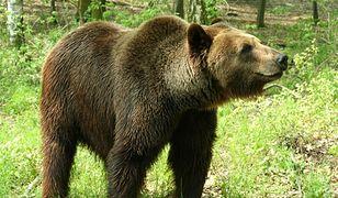 Zoo prosi poznaniaków o orzechy dla niedźwiedzi