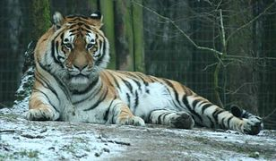 Nie żyje tygrys z poznańskiego zoo