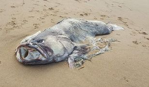 Ryba jak z horroru. Znaleziono ją na plaży