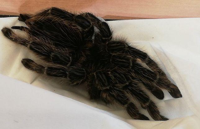 Warszawa. Tropikalny pająk schwytany w centrum miasta