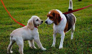 Jeśli pies bez smyczy stwarza zagrożenie dla zdrowia lub życia innych osób, właścicielowi grozi grzywna nawet do 5 tys. zł. Do tej pory było to 250 zł