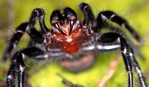 """""""Jad ptaszników z rodziny Atracidae jest bardzo toksyczny, może kogoś zabić"""""""