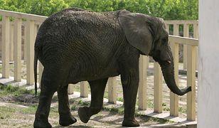Erna jest najstarszym słoniem w warszawskim zoo