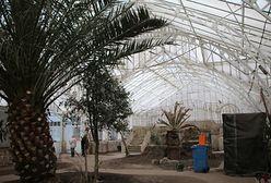 Legnica. Palma rośnie ze szczęścia. 123-letnia oranżeria znów będzie chlubą miasta