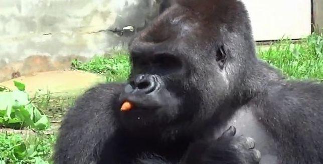 W tym gorylu zakochują się kobiety. Obłęd i szaleństwo?