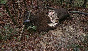 Martwy żubr znaleziony niedaleko miejscowości Olchowa.