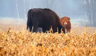 Krowa i żubr.