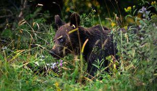 Bieszczady. Niedźwiedź sfotografowany w Nadleśnictwie Baligród, fot. Paweł Lewandowski