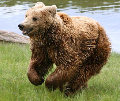 Niedźwiedź grasował po wsi Krempachy w Małopolsce