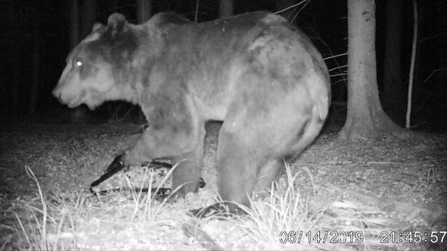 Kamera Instytutu Biologii Ssaków PAN w Białowieży zarejestrowała niedźwiedzia