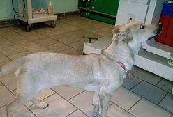 Ktoś wrzucił psa do studni i przykrył kamieniem. Uratował go trener Warty Poznań