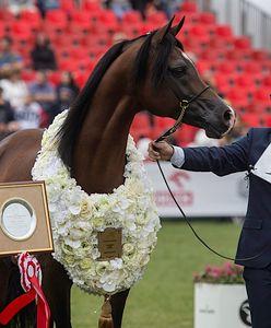 Pokaz koni arabskich nie dla Janowa? 40-letnia tradycja może dobiec końca
