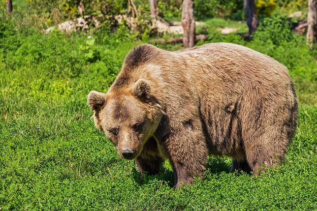 Pod Augustowem grasuje niedźwiedź. Pierwszy taki przypadek od 100 lat