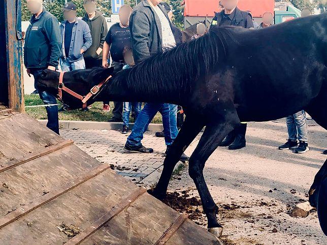 Znęcali się nad koniem na targu w Pajęcznie. Fundacja Viva! nagrała film