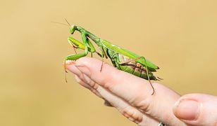 Egzotyczny gatunek jest objęty w Polsce ścisłą ochroną gatunkową
