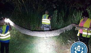 Wylinka pytona znaleziona nad Wisłą