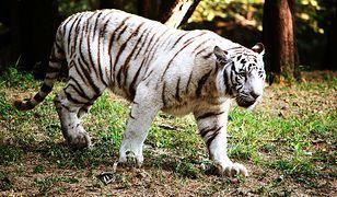 Tragedia w parku narodowym Bannerghatta. Białe tygrysy rozszarpały 40-latka